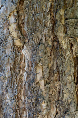 Texture old pinetree