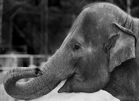 BW version of the Indian Elephant, seen in Copenhagen ZOO, Denmark