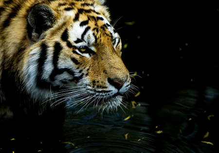 Tiger hunting Stock Photo