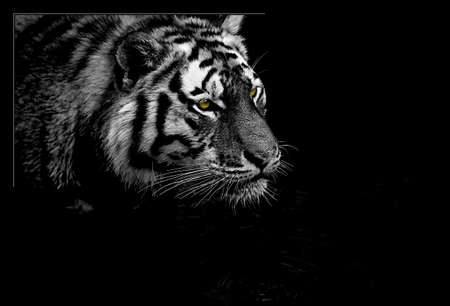 Tiger BW  selective color photo