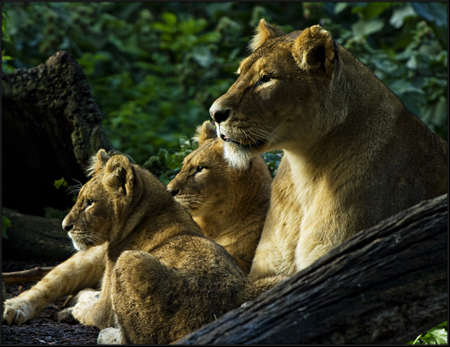 Lion family relaxing in the sunset
