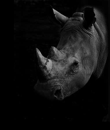 Rhino portrait in low key Stock Photo