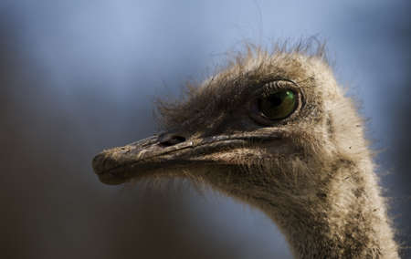 Closeup of a ostrich, starring back Stock Photo