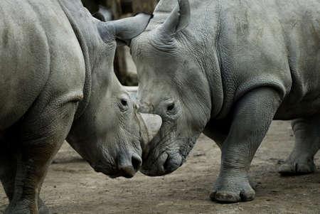 Rhinos fighting, closeup Stock Photo