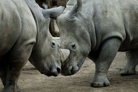 Rhinos fighting, closeup Stock Photo