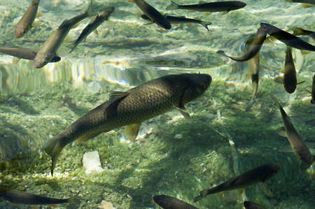 Fish svimming in the clear waters of Plitvice lakes national park, a UNESCO world heritage top 100 nature reserve that can be found in Croatia near the Serbian border