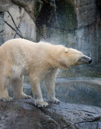 Polar bear shaking water out of the fur, seen in the Copenhagen ZOO. Stock Photo