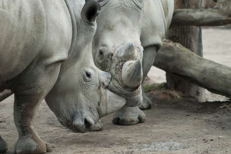 Two rhinos in close encounter Stock Photo
