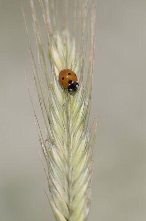 kerf: seven-spot ladybird, Coccinella septempunctata