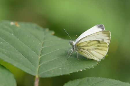 pieris: Green-veined white (Pieris napi)