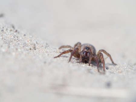 Spider, Trochosa terricola photo