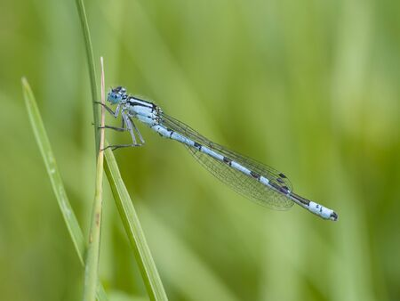 damselfly: common blue damselfly, Enallagma cyathigerum