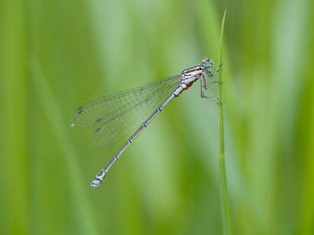 damselfly: Scarce blue-tailed damselfly, Ischnura pumilio