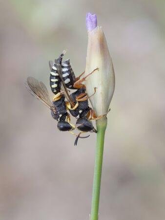 kerf: Wasp, Lestica alata