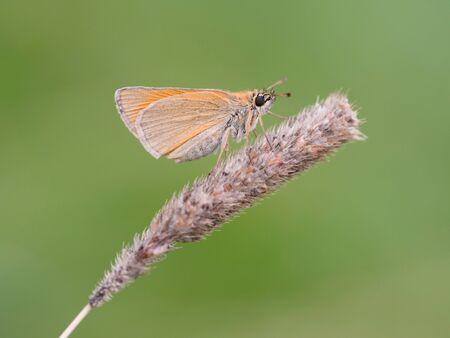 skipper: Small skipper (Thymelicus sylvestris)