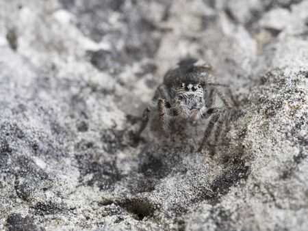 chrysops: Jumping Spider, Philaeus chrysops