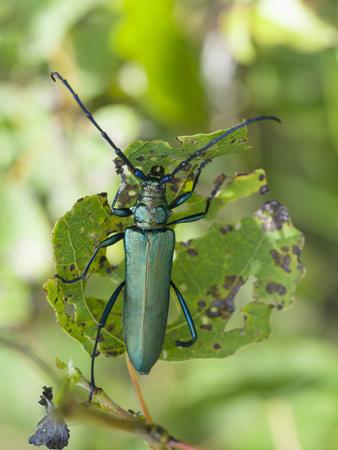 kerf: Musk beetle, Aromia moschata