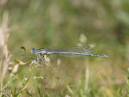 damselfly: White-legged damselfly, Platycnemis pennipes Stock Photo
