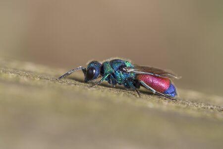 kerf: Cuckoo wasp, Chrysis rutilans