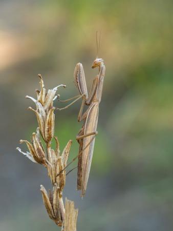 european mantis: European mantis (Mantis religiosa)