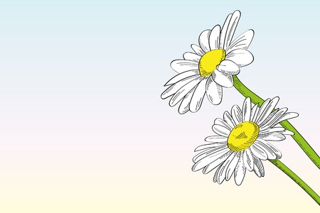 marguerite: Two daisies against clear background