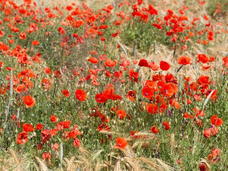 papaver rhoeas: blooming red poppy in a wheat field - Papaver rhoeas