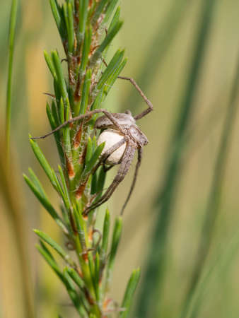 pisaura mirabilis: nursery web spider with a cocoon - Pisaura mirabilis Stock Photo