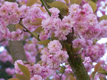 apfelbaum: pink flowers of an apple tree