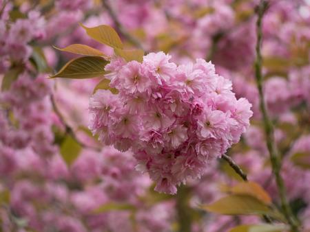 apple tree: pink flowers of an apple tree