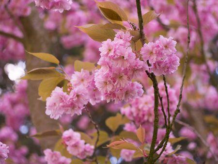 arbol de manzanas: flores de color rosa de un �rbol de manzanas