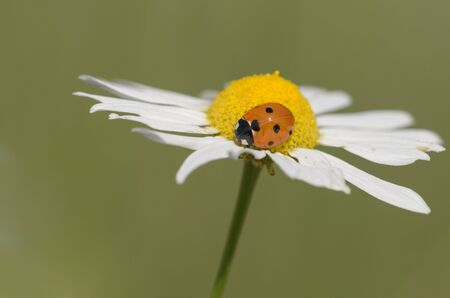 coccinella: seven-spotted ladybug on a flower - Coccinella septempunctata