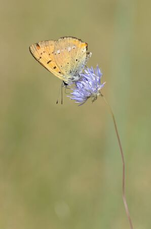 lycaena: Scarce copper - Lycaena virgaureae Stock Photo
