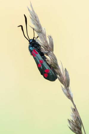 zygaena: Six-spot burnet - Zygaena filipendulae Stock Photo