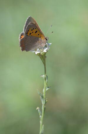 cobre: Cobre Hollín, Lycaena Tityrus