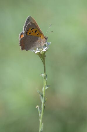 lycaena: Sooty Copper, Lycaena tityrus Stock Photo