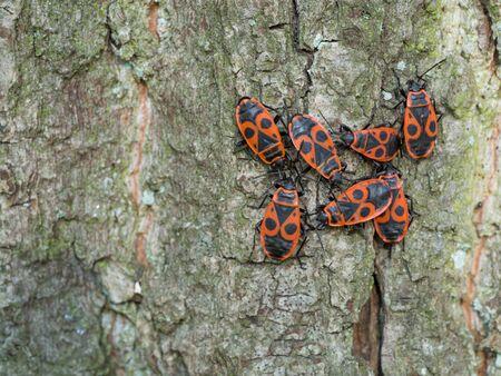 firebug: Firebug - Pyrrhocoris apterus