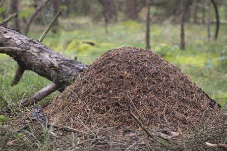 ameisenhaufen: Rote Waldameise, Ameisenhaufen - Formica rufa