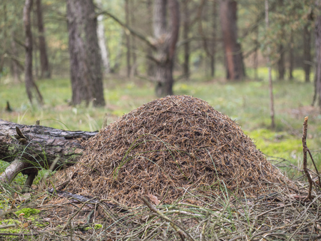 rufa: Red wood ant, anthill - Formica rufa
