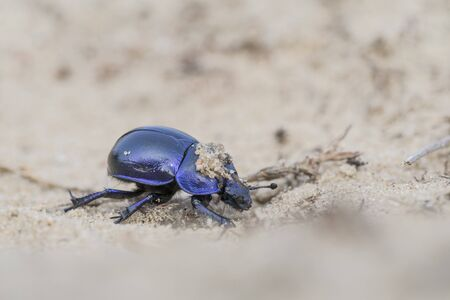 dung: Earth-boring dung beetle - Trypocopris vernalis