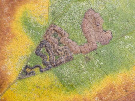 minor: Leaf with minor miner damage