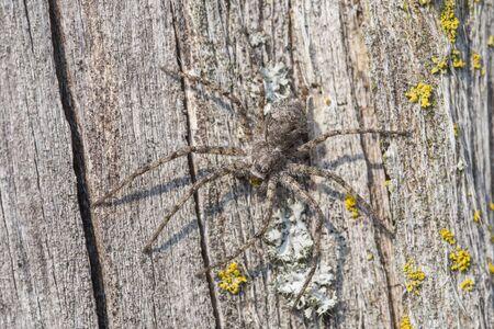 crab spider: Running crab spider, Philodromus margaritatus