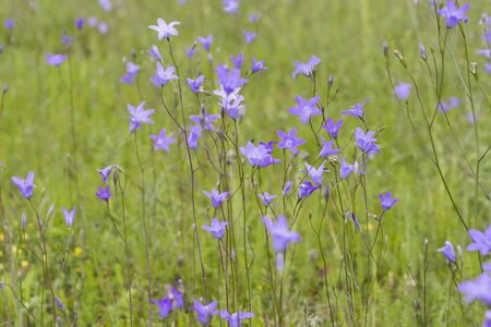 patula: Spreading bellflower,  Campanula patula