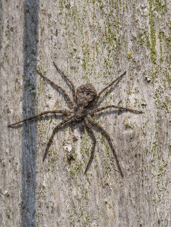 philodromus: Running crab spider, Philodromus margaritatus