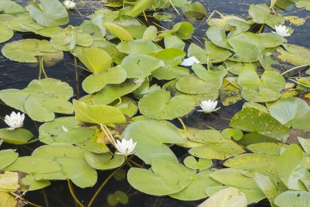 nenuphar: White lotus, Nymphaea alba