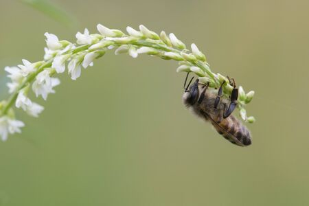 mellifera: Western honey bee, Apis mellifera