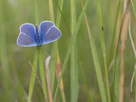 icarus: Common blue, Polyommatus icarus Stock Photo