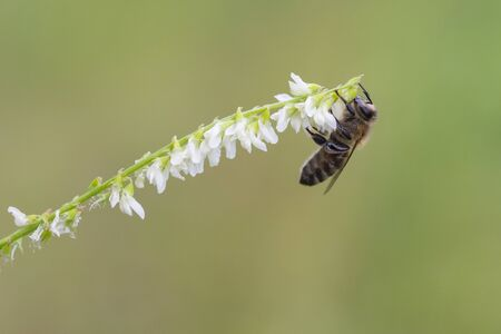apis: Western honey bee, Apis mellifera