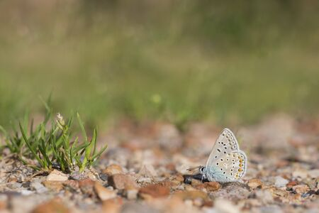 polyommatus: Common blue, Polyommatus icarus Stock Photo