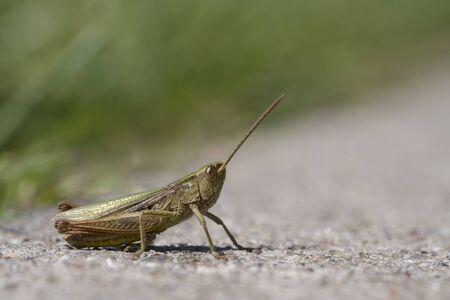 chorthippus: Grasshopper on the Road, Chorthippus dorsatus