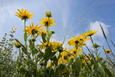 coneflowers: Black-eyed-susans in the sun